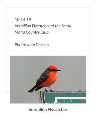 10.14.19 Vermilion Flycatcher at the Santa Maria Country Club  Photo: John Deacon Vermilion Flycatcher