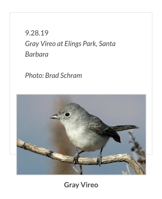 9.28.19 Gray Vireo at Elings Park, Santa Barbara  Photo: Brad Schram Gray Vireo