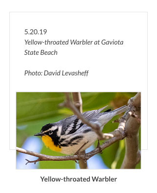5.20.19 Yellow-throated Warbler at Gaviota State Beach  Photo: David Levasheff Yellow-throated Warbler