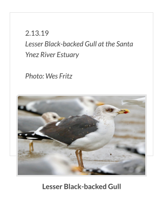 2.13.19 Lesser Black-backed Gull at the Santa Ynez River Estuary                      Photo: Wes Fritz Lesser Black-backed Gull